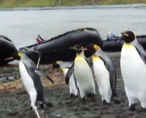 Ehrgeizige Pinguine und das Bootsseil
