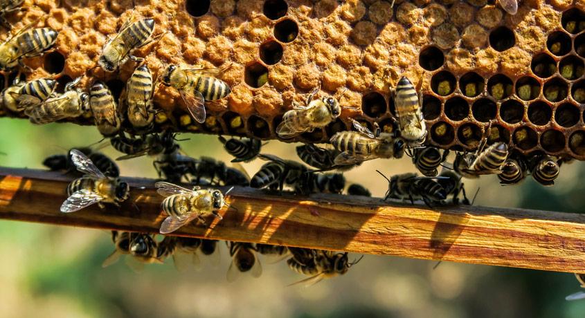 Bienen an der Honigwabe