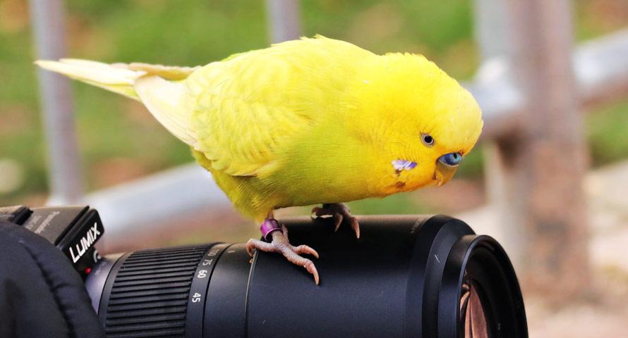 Wellensittich auf einer Kamera