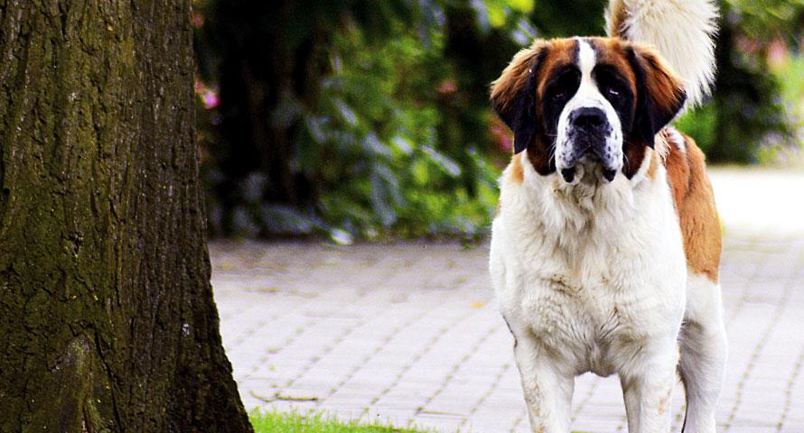 Beliebte Hunderasse Bernhardiner