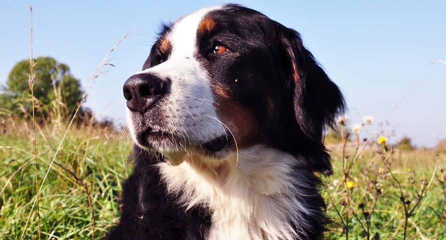 Berner Sennenhund als Familienmitglied