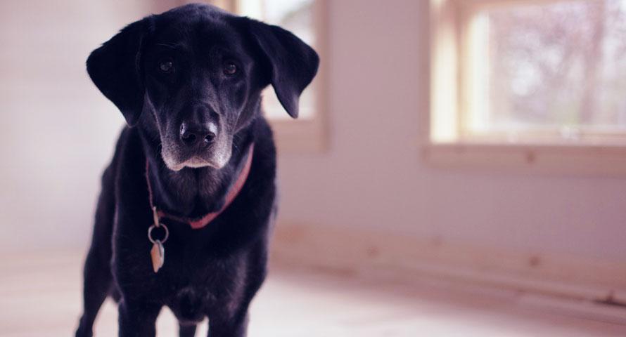 Labrador Retriever als Familienhund